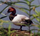 Canvasback Duck at Montezuma Wildlife Refuge